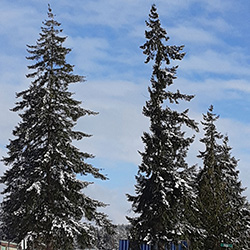 Snowy trees outside the Physical Plant Marshalling Yard
